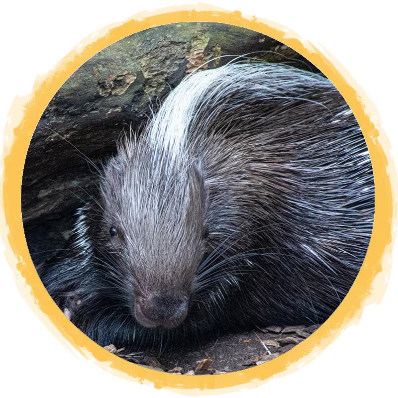 African Crested Porcupine circle