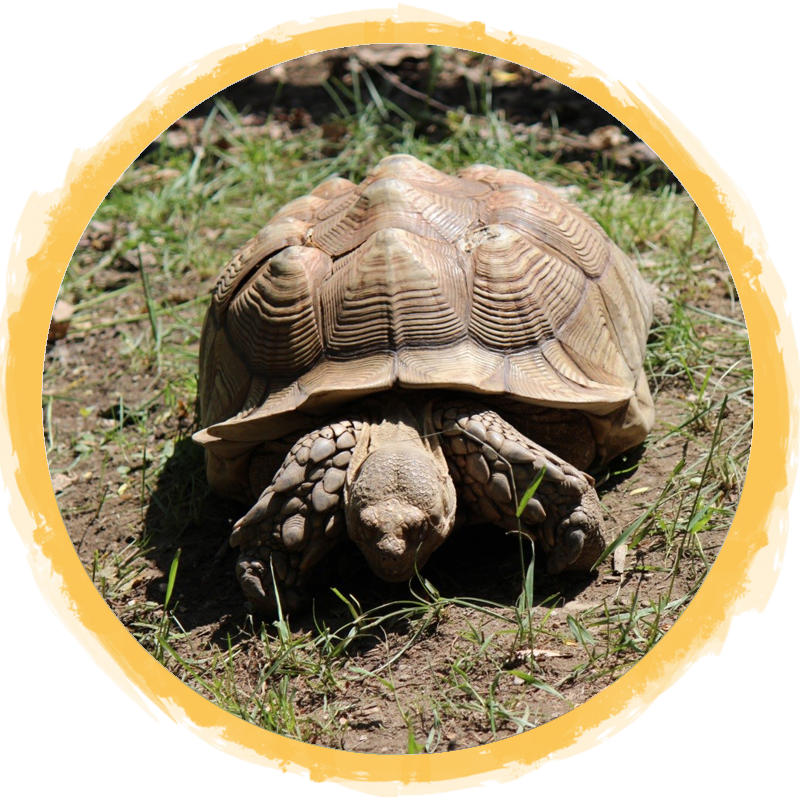 African Spurred Tortoise circle