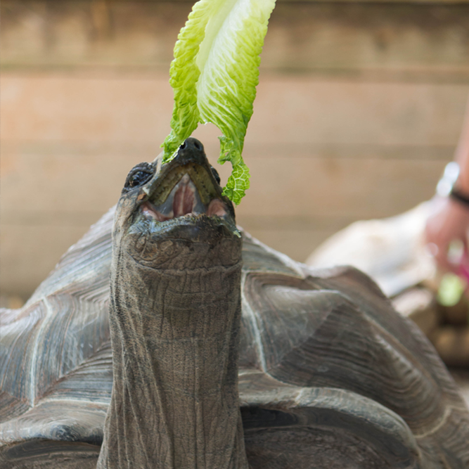 Aldabra Tortoise eating