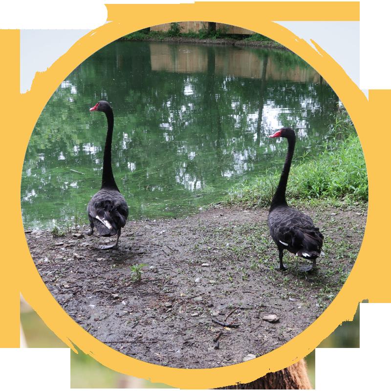 Australian Black Swan Circle
