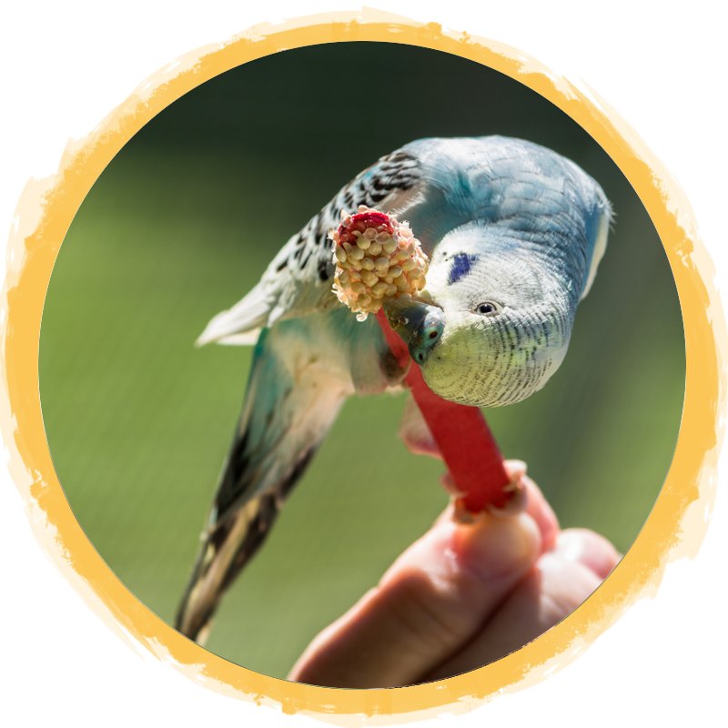 blue yellow parakeet circle