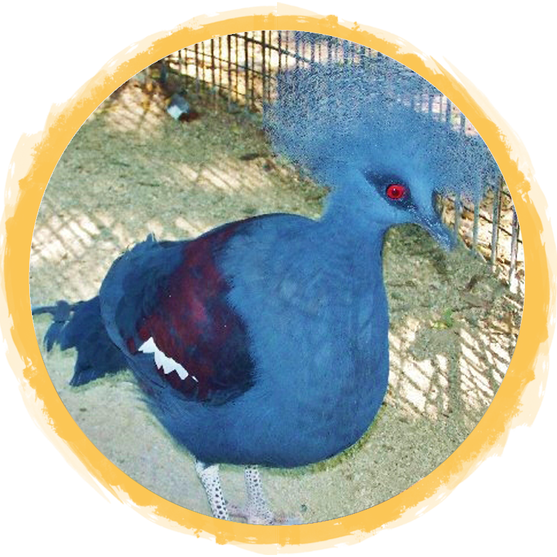 Blue Crowned Pigeon circle