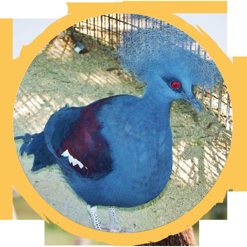 Blue Crowned Pigeon circle