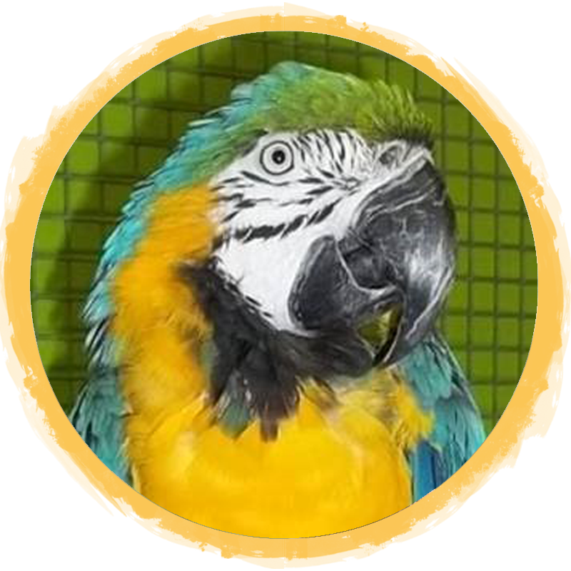 Blue and gold Macaw circle