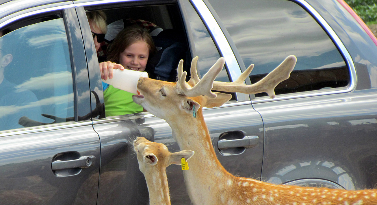 safari drive thru  car with deer