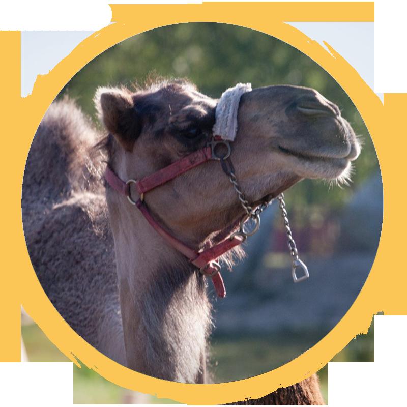 Dromedary Camel circle