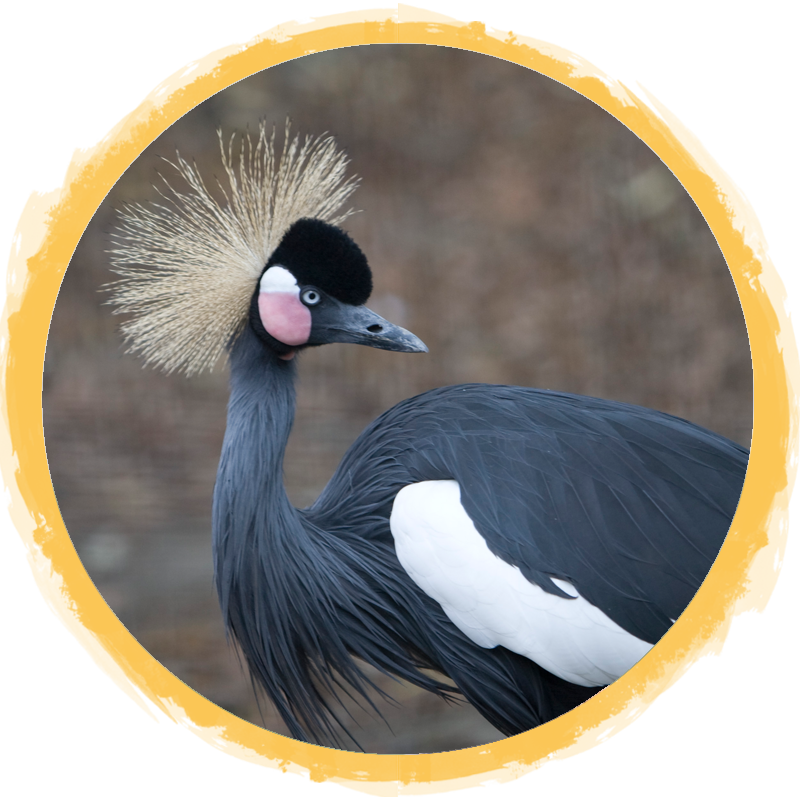 East African Crowned Crane circle