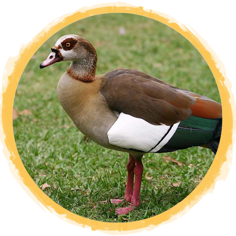 Egyptian Goose Circle