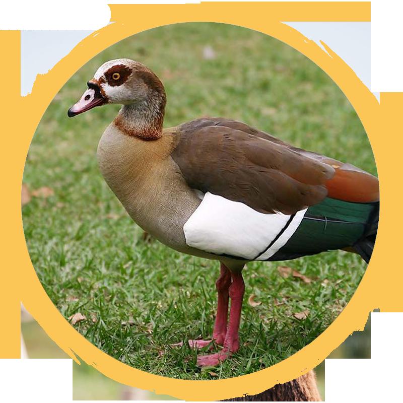 Egyptian Goose Circle