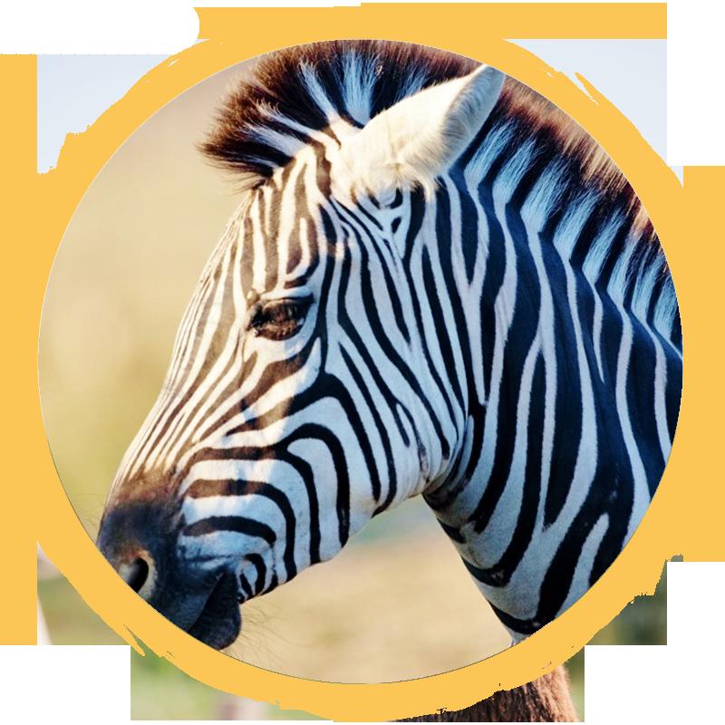 giant's zebra circle