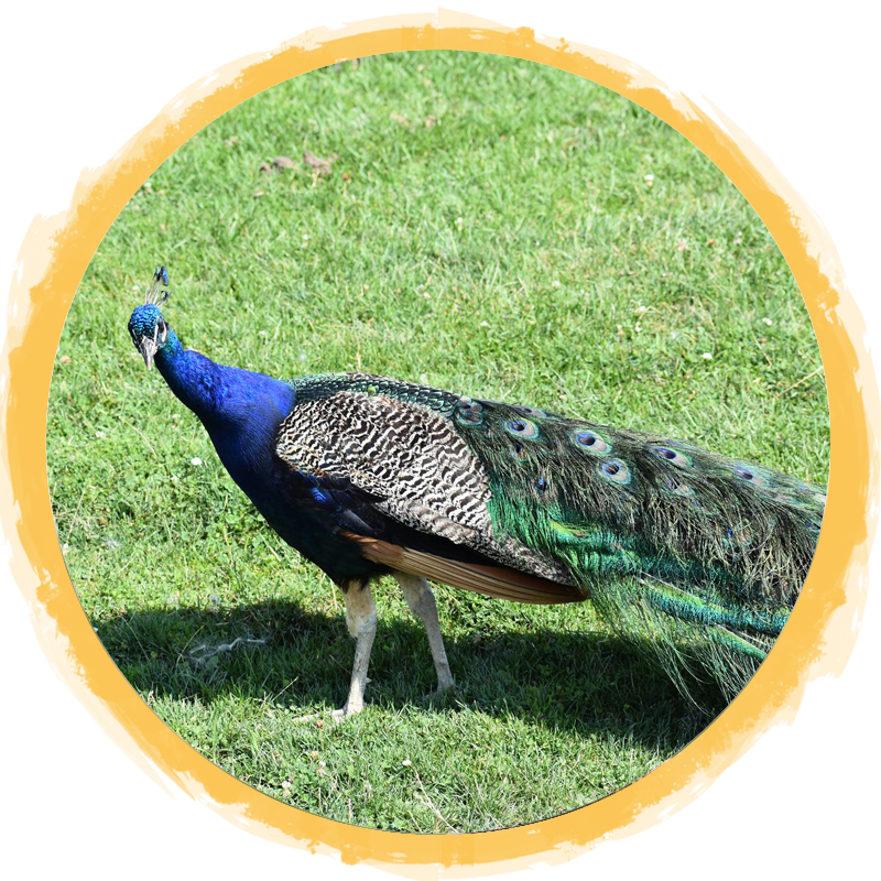 Indian Peafowl Circle
