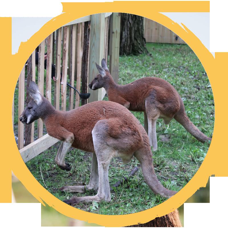 2 Red Kangaroos
