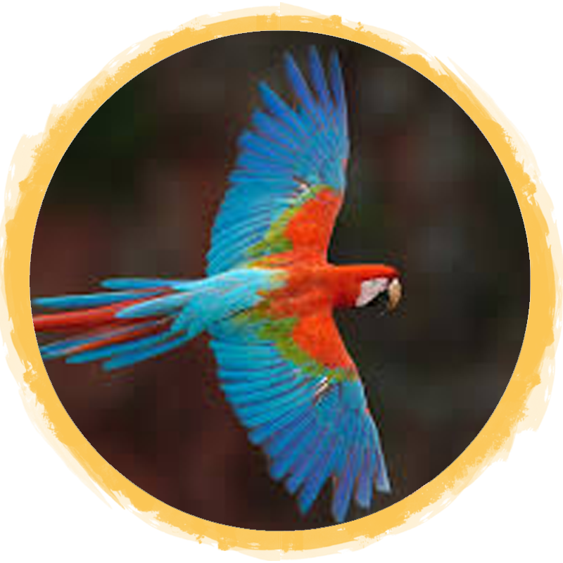 Red-and-Green Macaw Circle