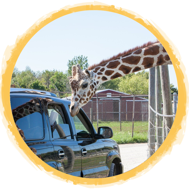 giraffe leaning by car circle