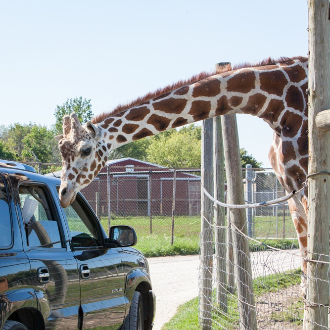giraffe leaning by car