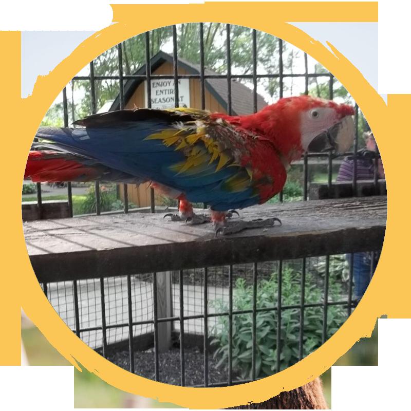 Scarlet Macaw circle
