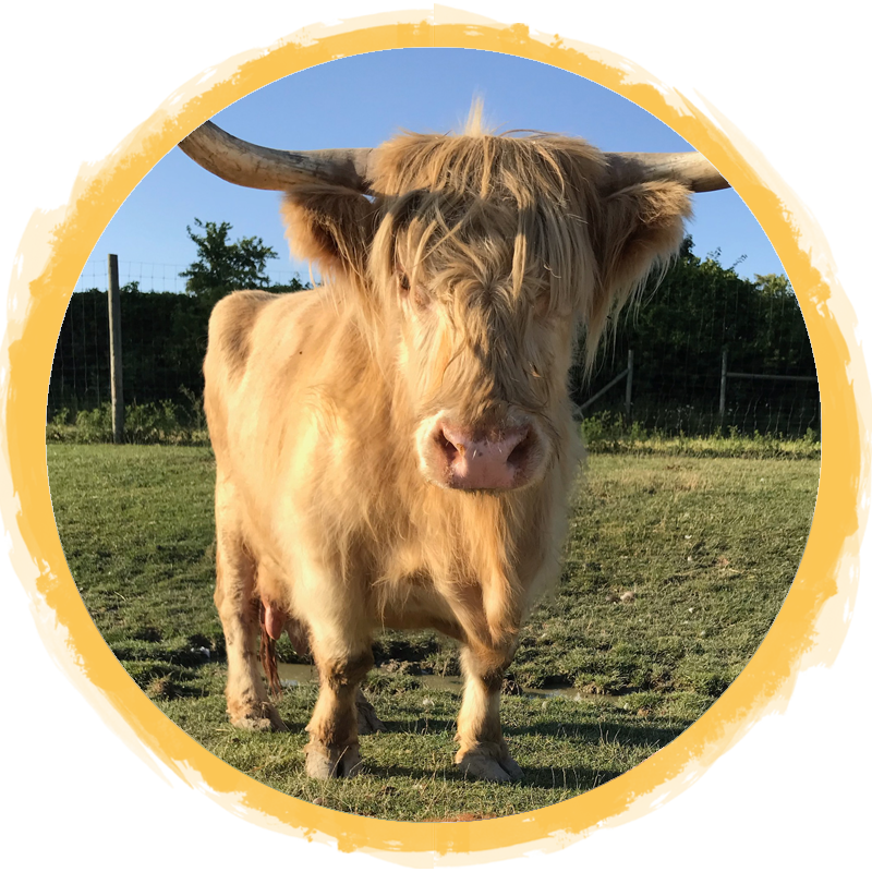 Scottish Highland Cow circle