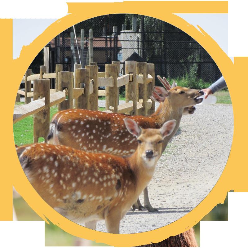 sika deer circle