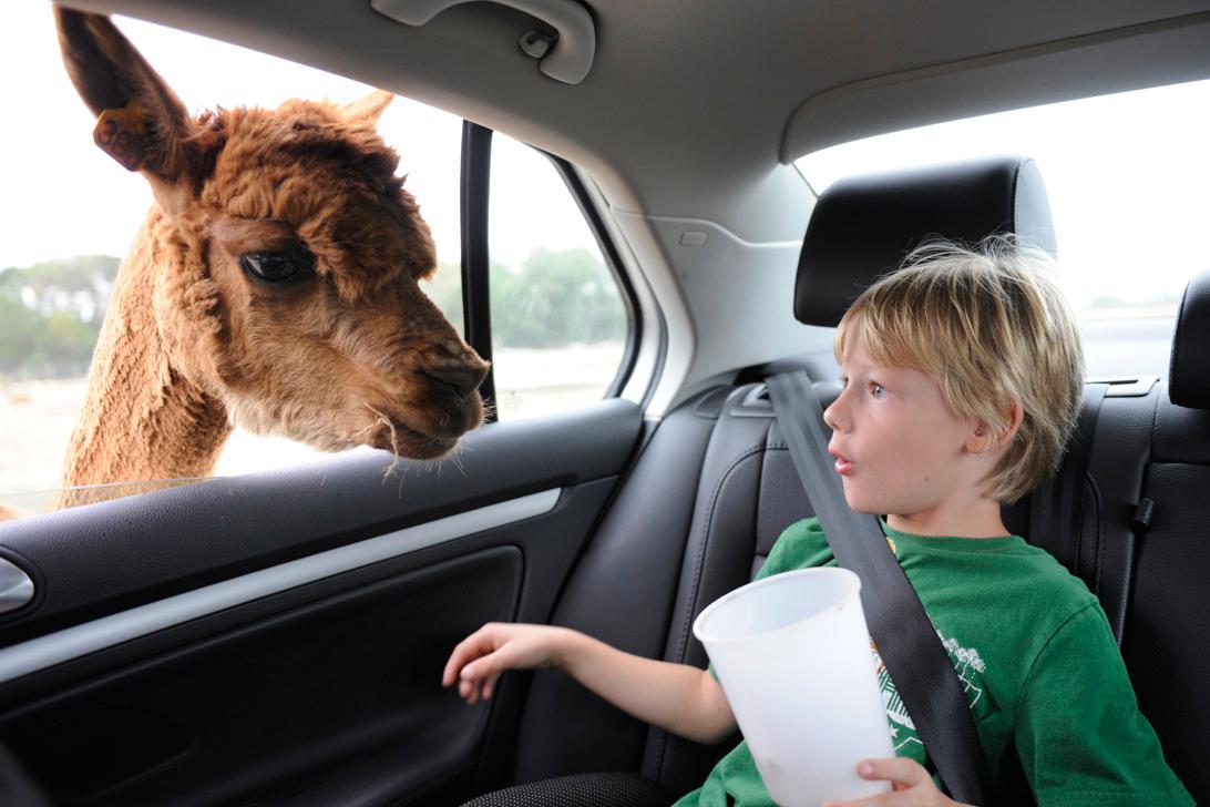 Animal Poking Head In Car