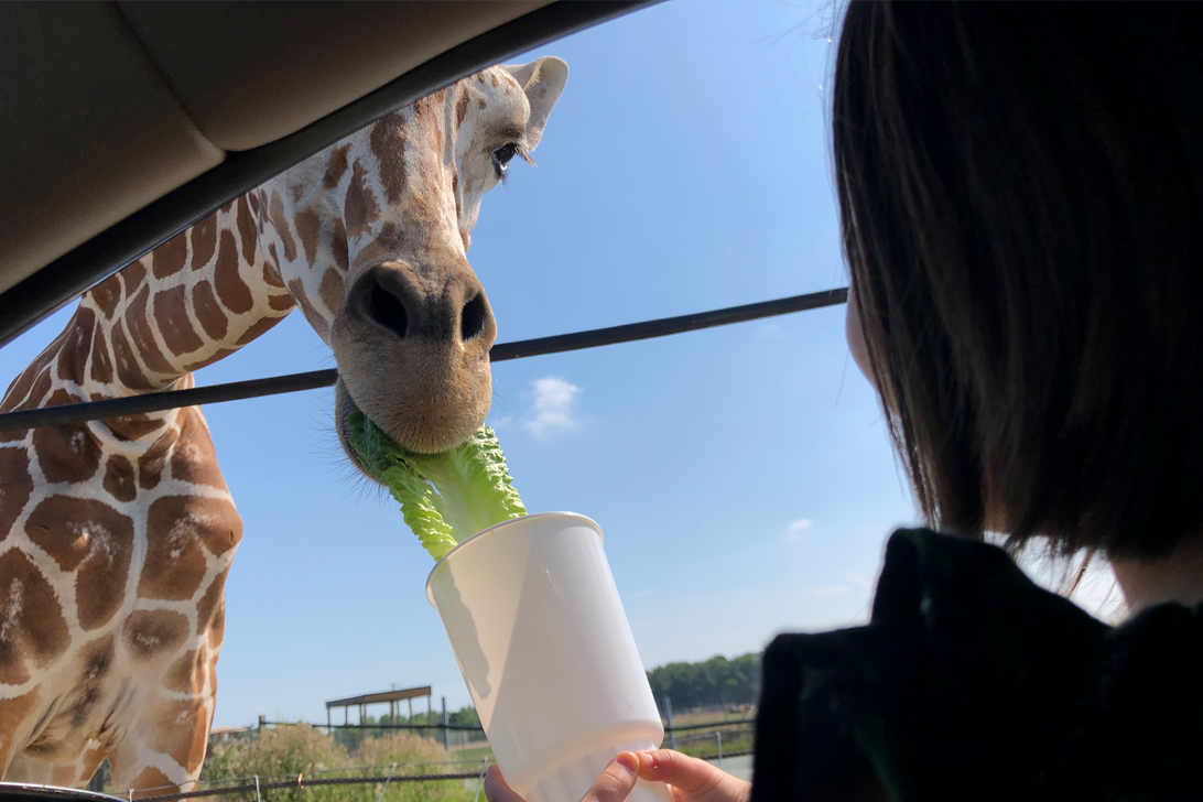 Giraffe eating from cup