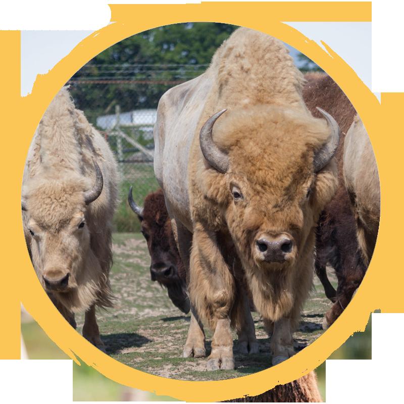 white bison circle