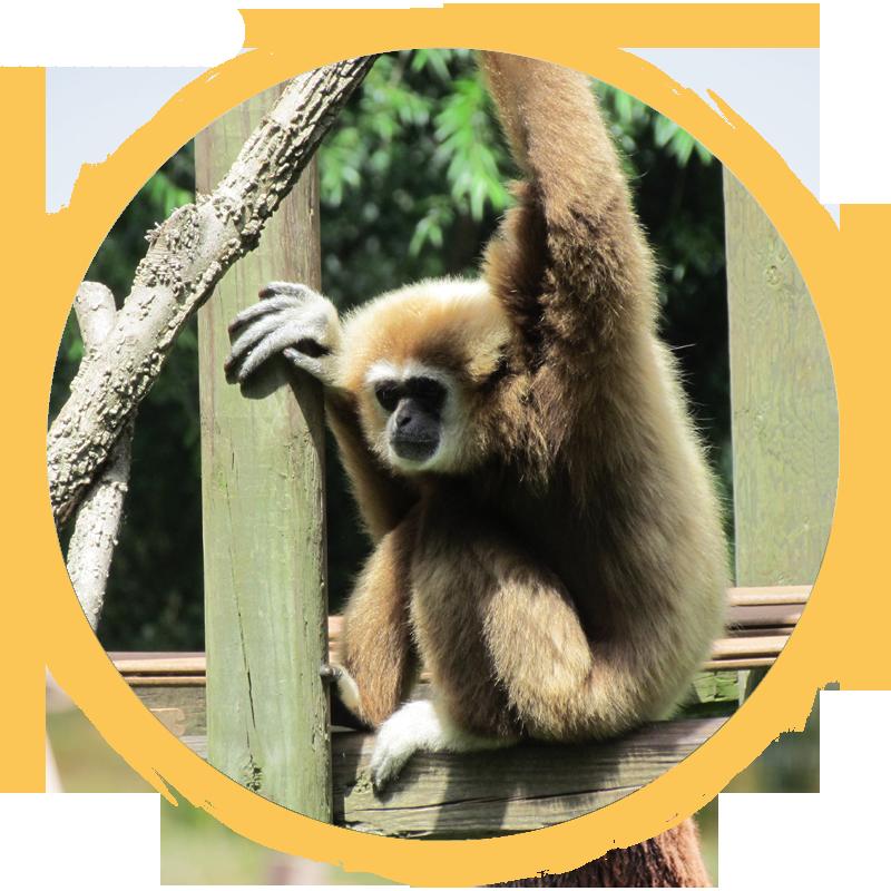 White Handed Gibbon circle