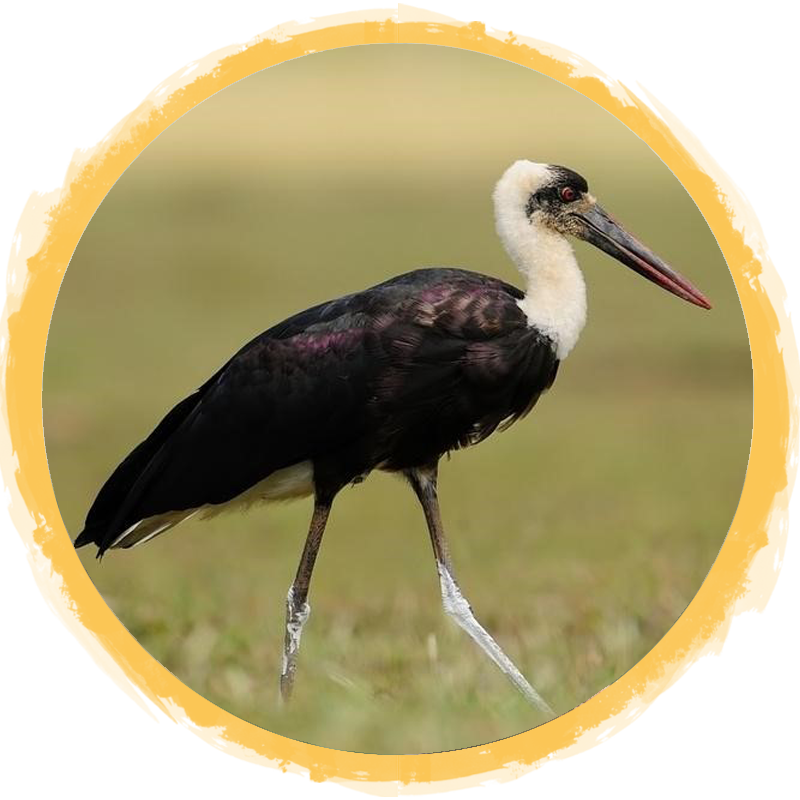 Woolly-Necked Stork circle