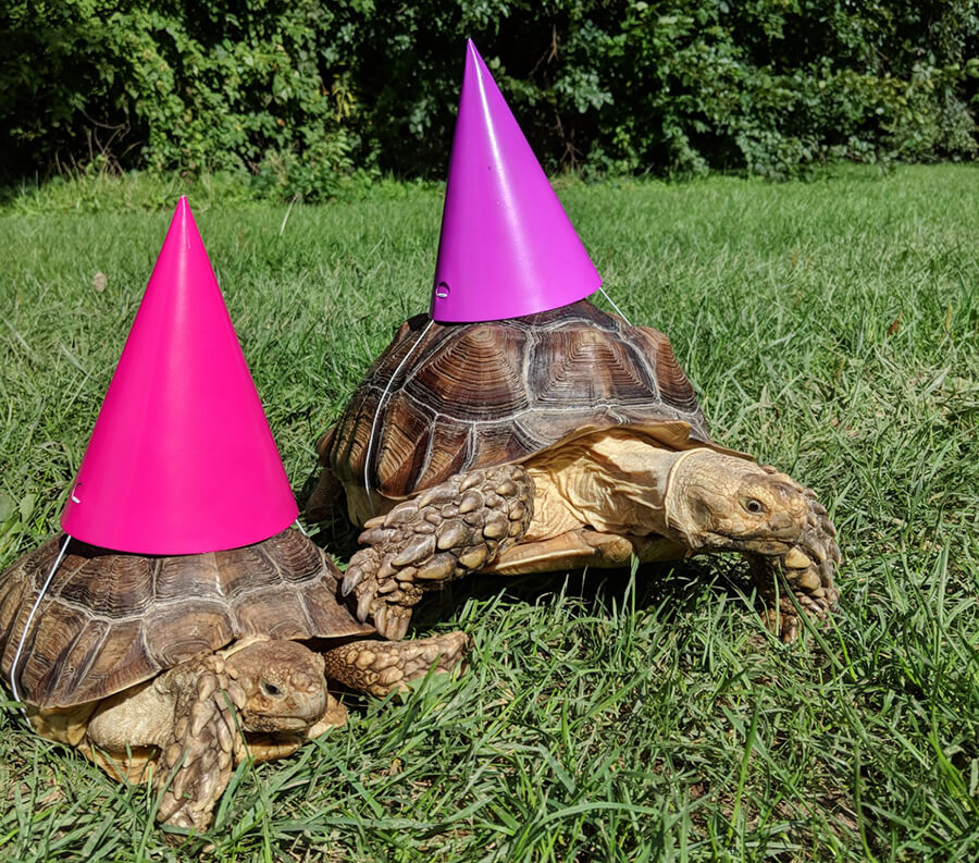 two turtles wearing birthday hats