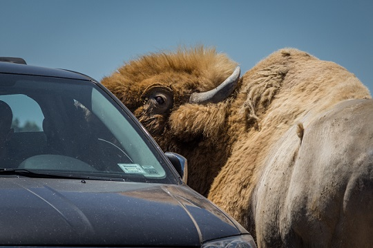bison next to car drive-thru