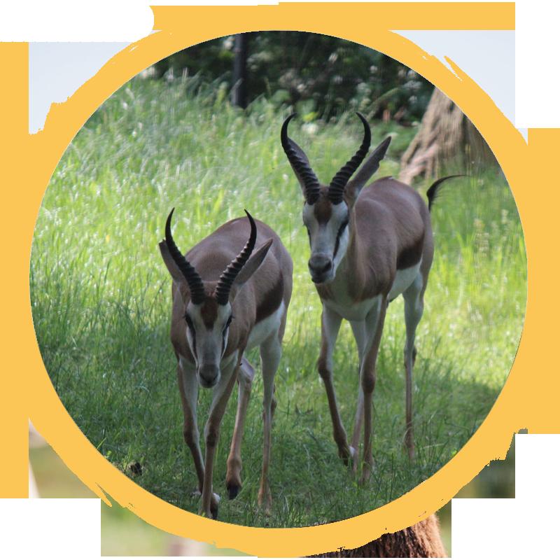 springbok circle